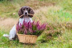 Flower Boy (The Papa'razzi of dogs) Tags: animal cocker outdoor spaniel zigzag basket dog flowers hund nature p pet