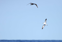 Pomarine Jaeger & Black-capped Petrel May 23, 2019 Gulf Stream - Offshore Hatteras, NC (Kate E Sutherland) Tags: pomarinejaeger blackcappedpetrel hatteras nc gulfstream