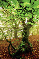 BEGIRADA (juan luis olaeta) Tags: forest tree photoshop lightroom raw basquecountry canon