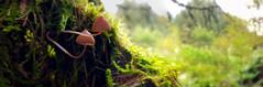 Reach for the Stars (D U B L) Tags: psilocybe semilanceata magic mushroom liberty cap autumn forest england uk