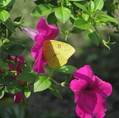 Cloudless sulphur @ Gibbs Gardens (Vicki's Nature) Tags: cloudlesssulphur big butterfly yellow spots purple maroon petunias blossoms vickisnature gibbsgardens georgia canon s5 2719 return returnabigfave