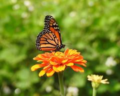 Monarch (annette.allor) Tags: danausplexippus monarch butterfly zinnia garden