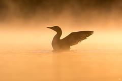 ''L'automne!'' Plongeon huard-common loon (pascaleforest) Tags: canada quebec faune wildlife wild nature nikon passion animal bird oiseau