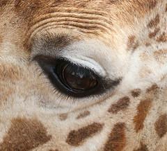 Eye of giraffe - Kenya (lotusblancphotography) Tags: africa afrique kenya nature animal wildlife faune closeup eye oeil girafe giraffe