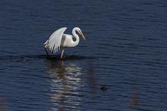 Grande Aigrette - Ardea alba - Western Great Egret - Pélécaniformes - Ardéidés (dany-46) Tags: grandeaigrette ardeaalba westerngreategret pélécaniformes ardéidés