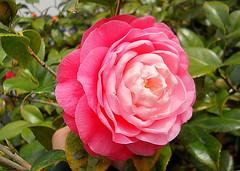 cosas de la primavera (mnovela2293) Tags: cameliajapónica galicia chinaasiajapón magnoliopsida camelliag kamell linneohonorcamellus follageperennifolio