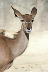 Femelle grand koudou (olivier.ghettem) Tags: zoodeparis zoodevincennes zoo parczoologiquedeparis paris grandkoudou femelle antilope mammifère afrique africa