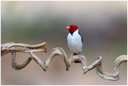 Yellow-billed cardinal - Geelsnavelkardinaal (Paroaria capitata) ...