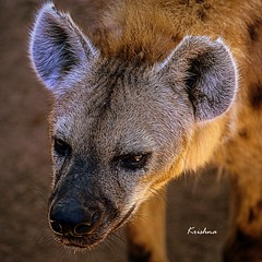 Laughing Hyena or Spotted hyena (krishna.mgs) Tags: laughinghyena spottedhyena wildlife portrait closeup