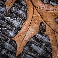 First Down (lclower19) Tags: oak leaf drop autumn fall odc macro closeup brown atsh october square