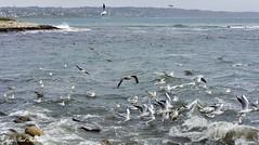 'Lervily' (jean-paul Falempin) Tags: cap mer faune oiseauxmarins nikonpassion marculescueugendreamsoflightportal