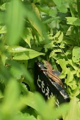 ニホンカナヘビ (Takydromus tachydromoides) (Hachimaki123) Tags: 国立科学博物館附属自然教育園 institutefornaturestudy 日本 japan 東京 tokyo animal 動物 reptil reptile lizard lagartija ニホンカナヘビ takydromustachydromoides