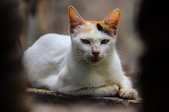 The Lone Calico (smzoha) Tags: cat calico white orange patches stray animal pets sitting pose mood angry feline paws beauty beautiful vibrant colorful sharp framing perspective angle