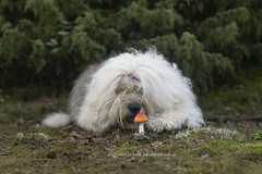"""hmm nobody home at the moment.. ;) """" explore """" (dewollewei) Tags: oldenglishsheepdog oldenglishsheepdogs old english sheepdog sheepdogs dewollewei mushroom dog oes explore exploreddogs explored paddenstoel gnoom kabouter dogs herfst autumn funny smell"""