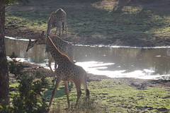 Giraffes at the Lake (Rckr88) Tags: krugernationalpark southafrica kruger national park south africa giraffes lake giraffesatthelake lakes dams dam giraffe water animals animal nature naturalworld outdoors wilderness wildlife