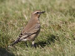 Wheatear (Alan McCluskie) Tags: wheatear northernwheatear oenantheoenanthe birds oiseaux aves canon7dmk2 sigma150600mmsp