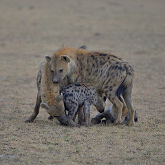 A close knit family (John Kok) Tags: kenya mara naboisho august2019 spottedhyena crocutacrocuta nikkor7020028evr2