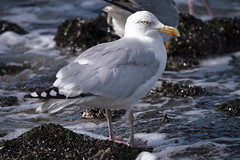 Sunny Day (memories-in-motion) Tags: gull silbermöwe möwe larusargentatus bird sea water sun texel dmcgx8 leicadg100400f4063