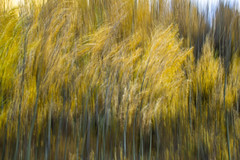 Windy Day In An Aspen Grove--Abstract (rwbaldwin) Tags: rwbaldwin colorado icmimage abstract aspengrove fallcolor hiking autumn uncompahgrenationalforest rockymountains sanjuanmountains