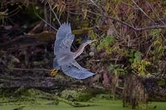 Green Heron (Kevin James54) Tags: butoridesvirescens greenheron lakegalena nikon500mmpff56 nikond850 peacevalleypark animals avian bird heron kevingianniniphotocom