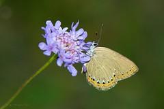 Moradilla del fresno (ajmtster) Tags: macrofotografía macro insectos invertebrados mariposas lepidopteros lycaenidae licenidos laeosopisroboris butterfly butterflies papillon farfalle amt mariposa