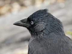 In thoughts (sander_sloots) Tags: western jackdaw bird black animal in thoughts dctz90 lumix panasonic vogel gedachte kauw kauwtje hoek van holland rotterdam coloeusmonedula dohle
