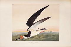 Black Skimmer or Shearwater (SDNHM-Library) Tags: blackskimmer shearwater johnjamesaudubon17851851artist juliusbien18261909lithographer birds lithographs rarebooks sdnhm audubonsbirdsofamerica