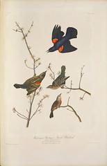 Red-winged Starling or Marsh Blackbird (SDNHM-Library) Tags: redwingedstarling marshblackbird johnjamesaudubon17851851artist juliusbien18261909lithographer birds lithographs rarebooks sdnhm audubonsbirdsofamerica