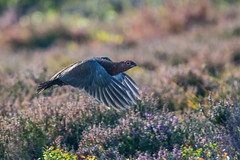 Game Face (Tim Melling) Tags: lagopuslagopusscoticus peak district moors south yorkshire flying flight timmelling