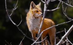 FRANCE - Jura - Fox (Jacques Rollet (Little Available)) Tags: france animal fox jura renard