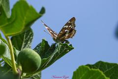 Le petit Mars Changeant (Ezzo33) Tags: petitmarschangeant apaturailia france gironde nouvelleaquitaine bordeaux ezzo33 nammour ezzat sony rx10m3 parc jardin papillon papillons butterfly butterflies