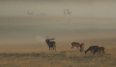 Rut (hardy-gjK) Tags: deer hirsch hirschkühe cow nature natur wildlife animals mammals morning sunrise sonnenaufgang hardy nikon dunst foggy misty nebelig hazy ruf scream baa blöken