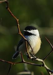 lemoine chickadee 1 (S. J. Coates Images) Tags: lemoinepointconservationarea fall autumn morning kingston ontario canada black capped chickadee bird songbird