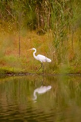 Great egret (zbackkcabz) Tags: greategret egret beautiful bird birds scene awesome amazing animal wildbird wildlife nature naturewatcher outdoor pond cool country cute