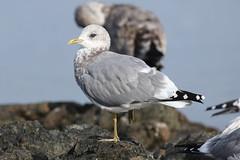 Mew Gull - Oak Bay, Victoria BC