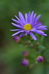 Blue Aster (pstenzel71) Tags: blumen natur pflanzen aster darktable flower bokeh