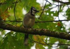lemoine bluejay 2 (S. J. Coates Images) Tags: lemoinepointconservationarea fall autumn morning kingston ontario canada bluejay bird songbird