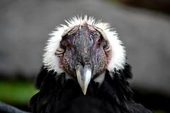 Vúltur grýphus. Moscow Zoo (NVKIR) Tags: vúltur grýphus moscow zoo animal bird eyes yellow macro nikon d3100 55300