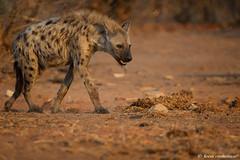 Very thirsty Spotted Hyena.. (leendert3) Tags: leonmolenaar southafrica krugernationalpark wildlife wilderness wildanimal nature naturereserve naturalhabitat mammal spottedhyena naturethroughthelens coth5
