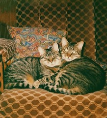 ... he's my brother (BrooksieC) Tags: cats animals pets brothers felines gatos chats
