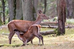 Biche et jeune (Dakysto94) Tags: biche faon mammifère animaux nature animal