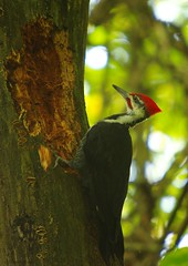 lemoine pw 1 (S. J. Coates Images) Tags: lemoinepointconservationarea fall autumn morning kingston ontario canada pileated woodpecker bird