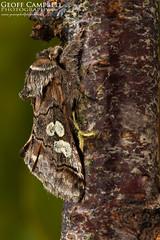 Figure of Eight Moth (Diloba caeruleocephala) (gcampbellphoto) Tags: diloba caeruleocephala figure eight moth insect macro county antrim northern ireland biodiversity gcampbellphoto