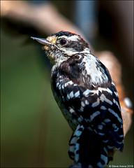 Downy Woodpecker (Dryobates pubescens) (Steve Arena) Tags: dryobatespubescens dowo downywoodpecker wachusettview bird birds birding massachusetts nikon d750 2019 worcestercounty