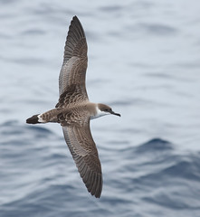 Great Shearwater June 7, 2019 Gulf Stream - Offshore Hatteras, NC (Kate E Sutherland) Tags: great shearwater hatteras nc gulfstream