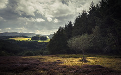 Heather (Netsrak) Tags: baum bergheidenweg eu eifel europa europe forst heide landschaft natur wald heather landscape nature tree trees