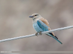 European Roller (Coracias garrulus) (gilgit2) Tags: avifauna birds canon canoneos7dmarkii category europeanrollercoraciasgarrulus fauna feathers geotagged ghulkin gilgitbaltistan gojal imranshah location nature ornithology pakistan species tags tamron tamronsp150600mmf563divcusd wildlife wings gilgit2 coraciasgarrulus