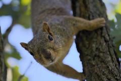 Squirrel, Cantigny Park. 83 (EOS) (Mr. Mega-Magpie) Tags: canon eos 60d nature outdoors wildlife squirrel tree cantigny park wheaton dupage il illinois usa america