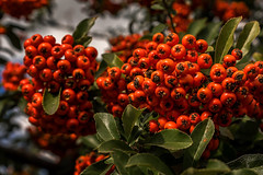 a bush full of red berries (Rambofoto) Tags: beeren natur strauch sonyilce7 sony