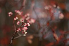 the nature of things (27) (birdcloud1) Tags: autumn rowan rowanberries berries pink shallowdepthoffield blur bokeh canoneos80d eos80d revuenon55mm14 vintagelens amandakeoghphotography amandakeogh birdcloud1 thesecretlifeofplants thenatureofthings sooc